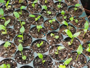 hedychium seedlings