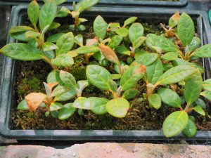 rhododendron seedlings