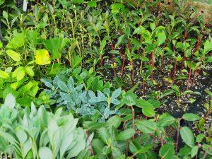 six sorts of enkianthus seedlings
