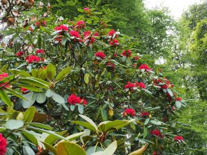 late flowering red rhododendron