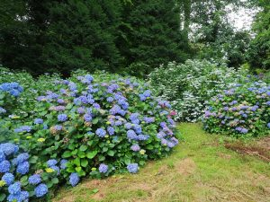 three big batches of hydrangeas