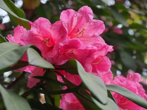Rhododendron 'Harrow Hybrids'