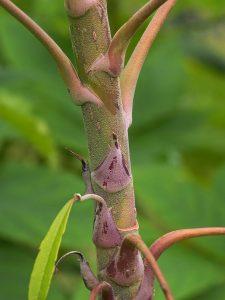 Schefflera rhododendrifolia