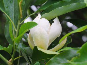 Magnolia virginiana 'Moonglow'