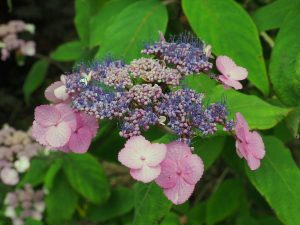 Two very different forms of Hydrangea sargentiana