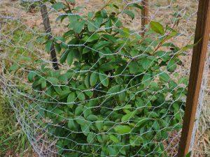 Stewartia serrata