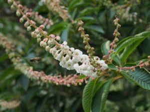 Clethra delavayi