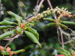 nearly dead clethra