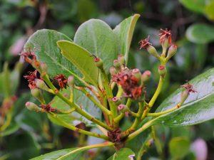 Rhaphiolepsis umbellata