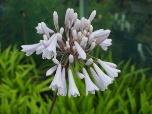 Agapanthus 'Windsor Grey'