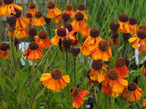 Helenium 'Sahins Early Flowerer'