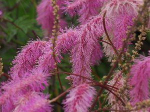 Sanguisorba ?obtusa 'Pink Feathers'