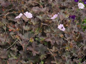 Geranium 'Dusky Rose'
