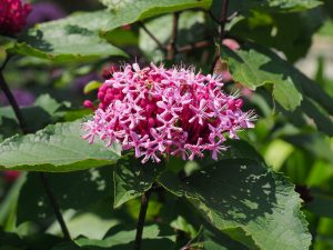 Clerodendron bungei