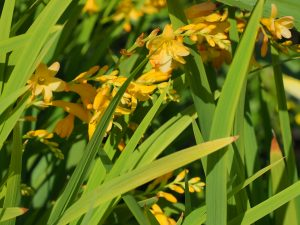 Crocosmia 'Honey Angels'