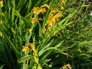 Crocosmia 'Pauls Best Yellow'