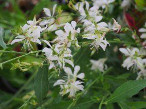Gaura 'Sparkle White'