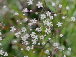 Gypsophila paniculata 'Snowflake'