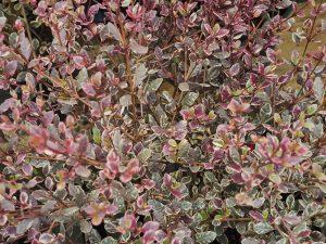 Lophomyrtus x ralphii 'Magic Dragon'