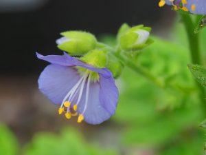 Polemonium 'Bambino Blue'