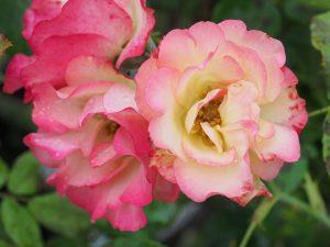 Rosa 'Birthday Girl'