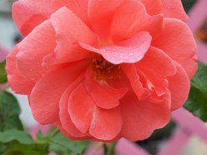 Rosa 'Happy Anniversary'