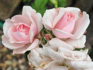 Rosa 'Many Happy Returns'