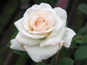 Rosa 'The New Dawn'