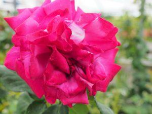 Rosa 'Ruby 40th Anniversary'