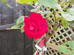 Rosa 'Ruby Wedding'