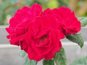 Rosa 'Special Grandad'