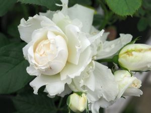Rosa 'Your Wedding Day'