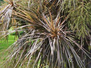 Cordyline australis 'Purpurea'