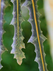 Pseudopanax crassifolius