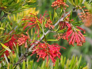Grevillea rosemarinifolia