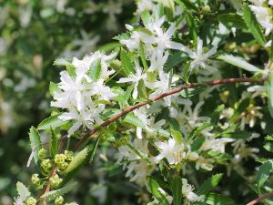 Hoheria angustifolia