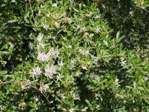 Hoheria angustifolia