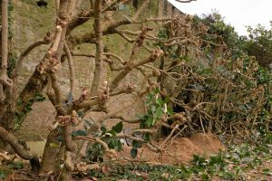 pruning of the Magnolia delavayi
