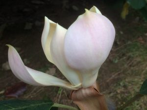 pink form of Magnolia delavayi