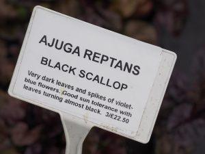 Ajuga reptans 'Black Scallop'
