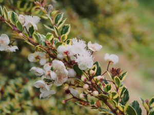 Luma apiculata 'Glenlean Gold'