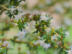 Olearia solandri 'Aurea'