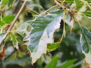 Quercus cerris 'Argeneovariegata'