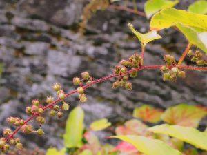 Rubus ichangensis