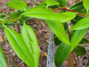Viburnum macrophyllum