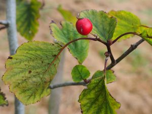 Crataegus schraderiana 'Fire Ball'