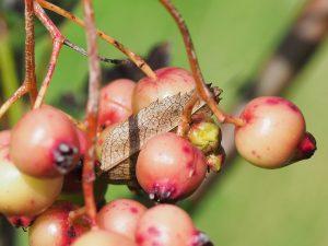 Sorbus gonggashonica