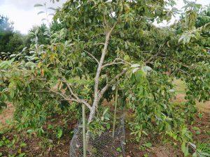 Sorbus japonica