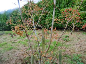Sorbus unknown