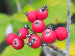 Sorbus pseudobakonyensis